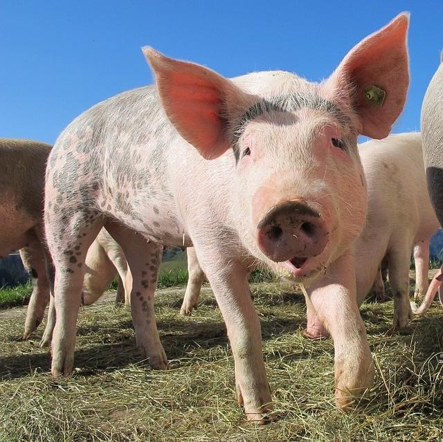 Tierfreundlich essen ist nicht einfach