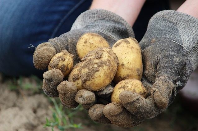 Kartoffeln machen dick