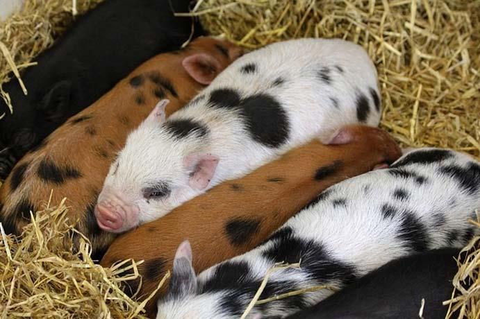Antibiotika in der Schweinemast