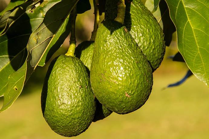 Avocado frisch am Baum