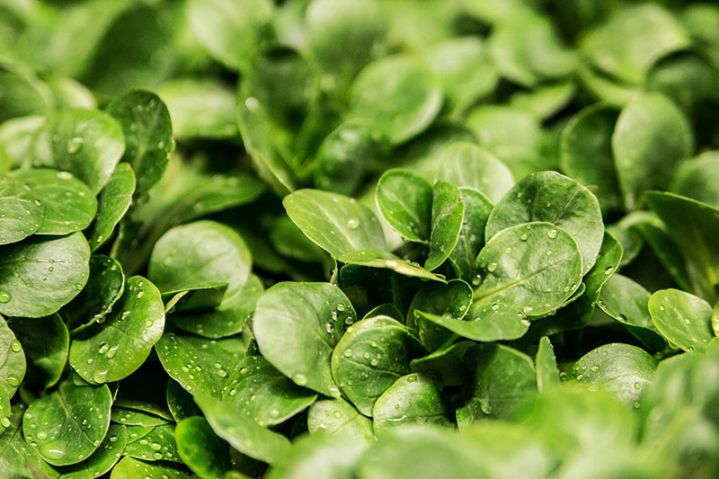 Feldsalat heimisches Superfood