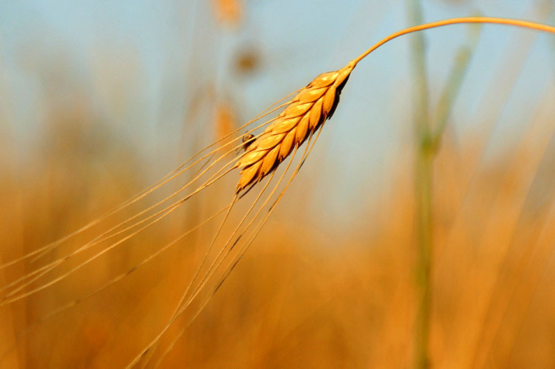 Farro – ein Getreide aus der italienischen Küche