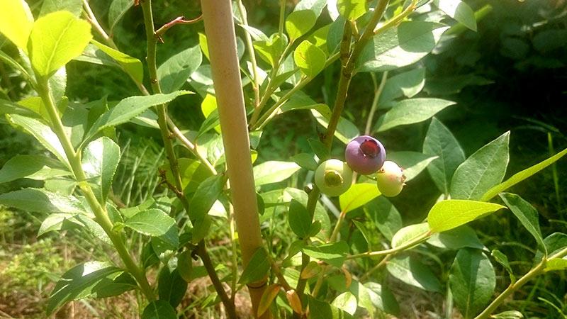 Beide Heidelbeersträucher tragen bereits im ersten Jahr. An jedem ist etwa eine Hand voll Früchte dran. Das selbe gilt auch für die neu gepflanzten Johannisbeeren und Himbeeren.