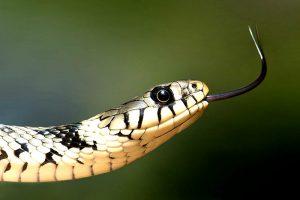 Schlangen in heimischen Gärten