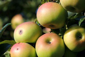 Die Apfelernte – Ein Kalender für den richtigen Erntezeitpunkt