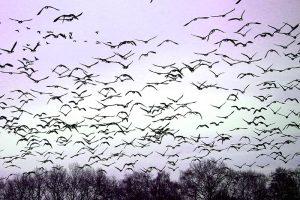 Vogelgrippe nach 10 Jahren zurück