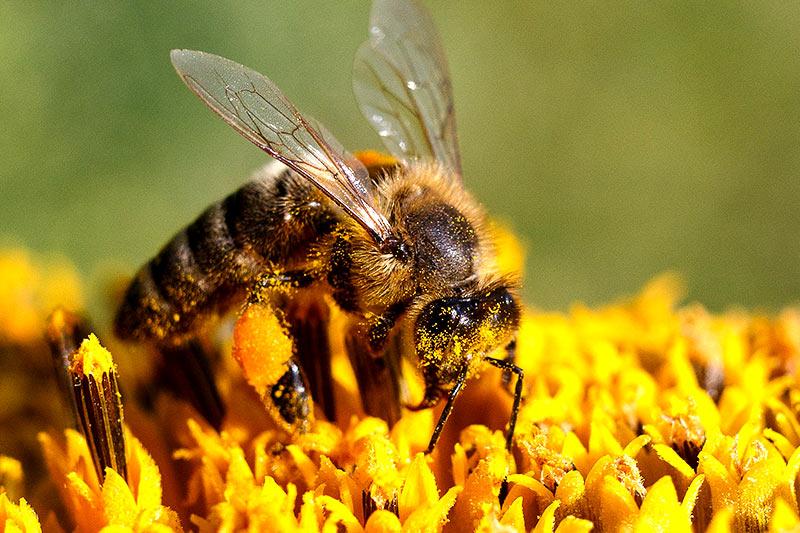 Biene Blume Bienensterben