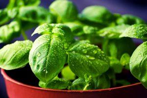 Basilikum pflanzen säen gießen düngen ernten