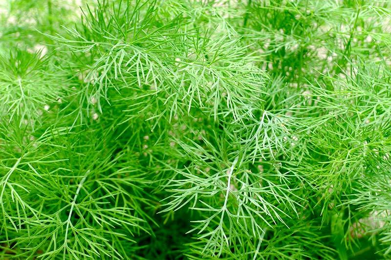 Dill pflanzen Garten