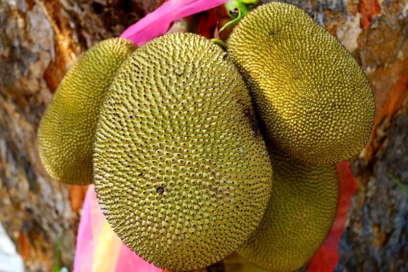 Jackfruit Jackfrucht Fleischersatz
