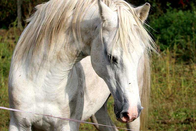 PMSG Skandal Pferdeblut Schweinemast