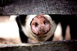 Der Mythos der artgerechten Tierhaltung