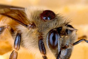 Bienen Varroa Milbe