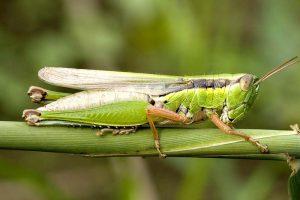 essbare Insekten