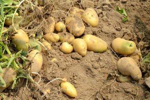 BfR warnt vor grünen Kartoffeln