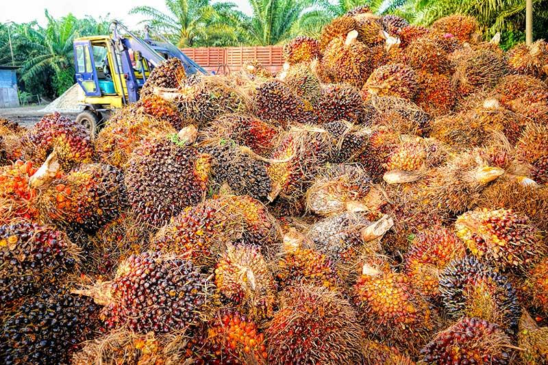 Alternative Palmöl