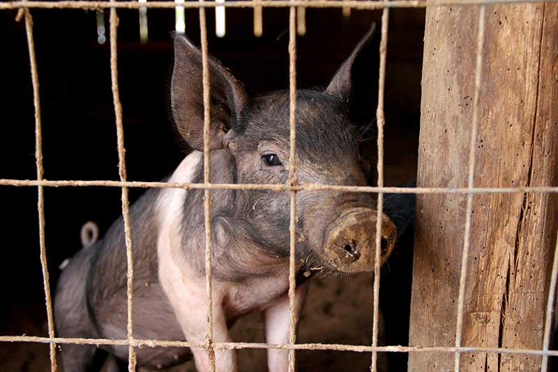 Schweinebauern wollen aufgeben