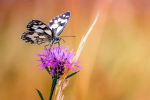 Insektensterben Schmetterling