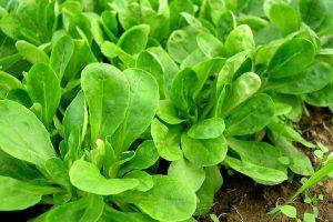 Feldsalat anbauen pflanzen säen ernten