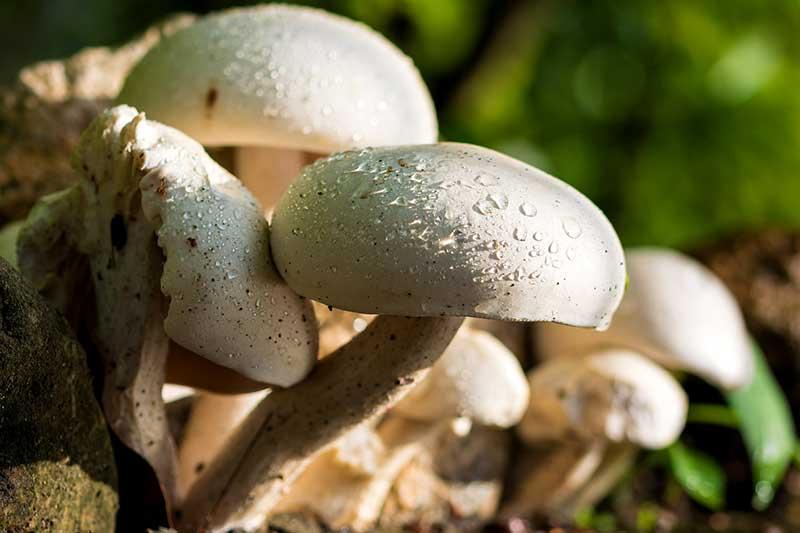 Champignons züchten ernten lagern