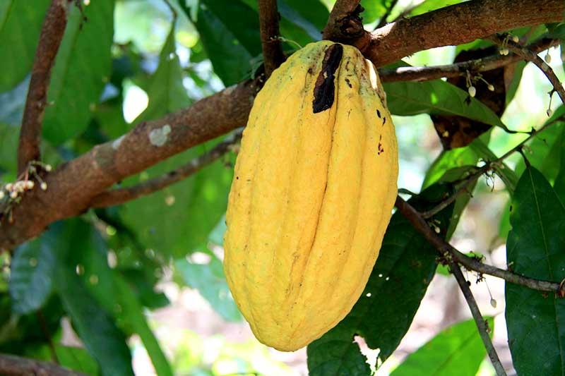 Kakao bitter trocken