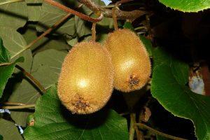Kiwi Anbau Infos Pflanze Pflege Sorten