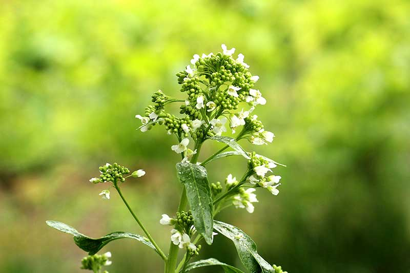Meerrettich Blüte