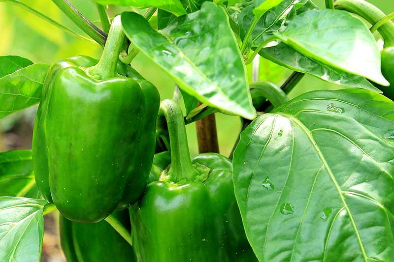 Paprika ernten
