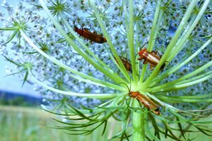 NABU Insektensommer