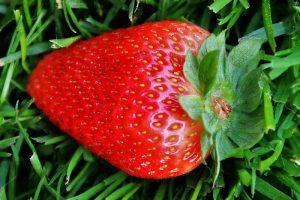 Erdbeeren anbauen pflanzen ernten