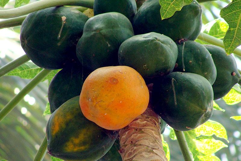 Papaya reif unreif essen