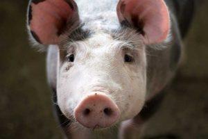 9 von 10 Fleischstücken stammen aus tierschutzwidriger Haltung