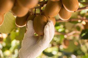 Zespri wird zum Vorreiter für Nachhaltigkeit im Kiwi-Geschäft