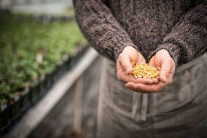 Der Kampf um das Saatgut