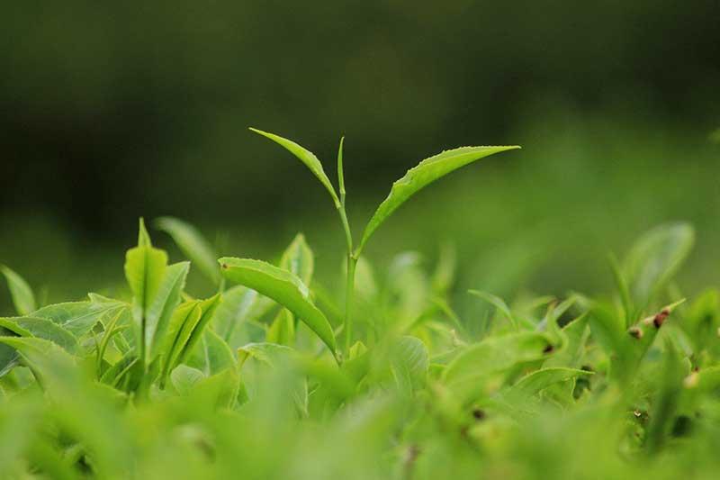 Darjeeling Teepflanze aus dem Himalaya.